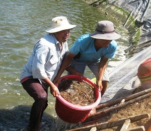 Farmers in Mekong Delta rush to sell shrimp as price falls