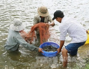 Prawn to be wild: Mekong giant river shrimp output up