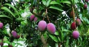 Viet Nam exports 3-coloured mangos to Oz