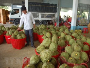 Durian shortage torments Ben Tre