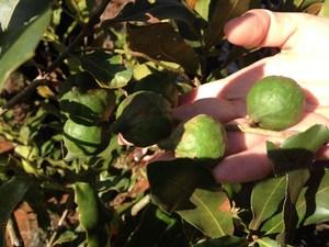 Farmers warned: Don't go nuts over macadamia
