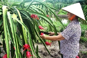 Dragon fruit dominates Viet Nam fruit exports
