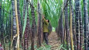 Sugarcane faces plummeting prices