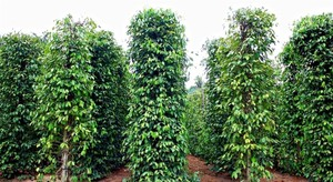 Pepper prices fall sharply in Phu Quoc