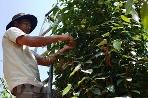 Export price of Vietnamese pepper down 62 per cent