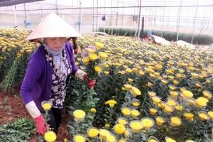 Flower farmers prepare for Tet