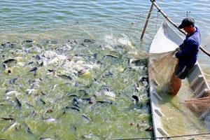 Pangasius firms fishing for markets
