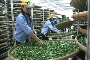 Tea exports down in volume and value