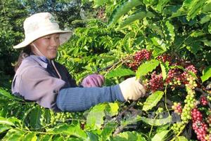 Viet Nam, China boost tea and coffee production co-operation