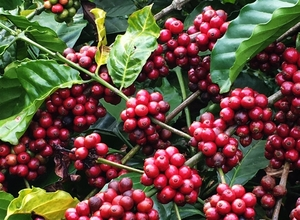 Coffee exports down in 9 months