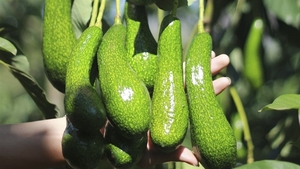Viet Nam trying to get US export licence for avocados