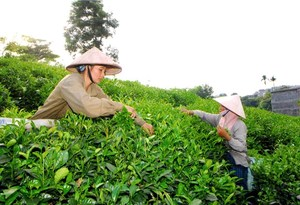 Viet Nam's export of tea to Taiwan up