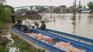 State strictly controls trading, transportofsmuggled pigs