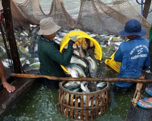 Viet Nam to see $2.4b in tra fish exports this year