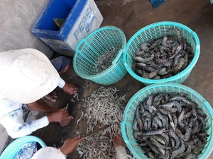 Viet Nam targets $4.2b in shrimp export value this year