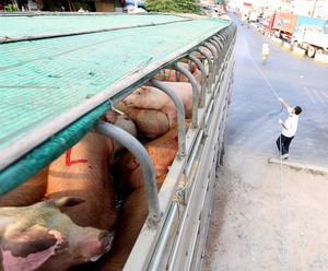 Measures needed to prevent African swine fever reaching southern Viet Nam