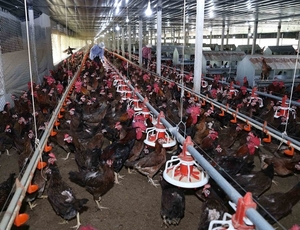 High supply gives Viet Nam's poultry firms chance to reach export markets