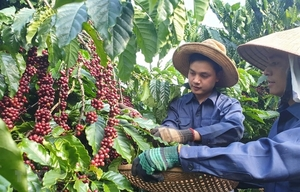 Viet Nam to manage coffee quality through new database