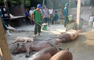 MARD tackles African swine fever subsidy fraud