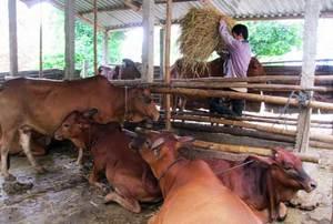 Viet Nam to develop cattle breeding, sayofficials