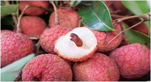 Thieu lychee week to take place in Ha Noi