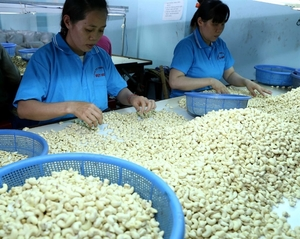 Cashew export volume up more than 21 per cent in June