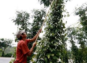 June's pepper exports up 58.8 per cent