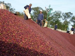 Coffee export prices plummet
