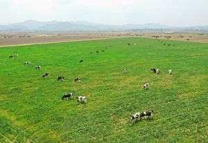 Vinamilk to import 1,200 cows from the US in 2021