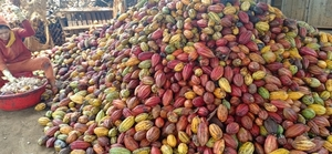 Viet Nam needs focus on quality cocoa: experts
