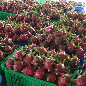 Dragon fruit price rises as export opportunities open up