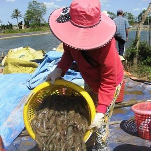 Mekong Delta shrimp prices fall as COVID-19 hits demand