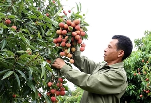 VN proposes solutions to Japan for export of lychee