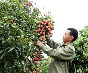 Japanese experts to arrive in Viet Nam to examine lychee exports