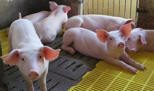 Viet Nam begins to import live pigs from Thailand