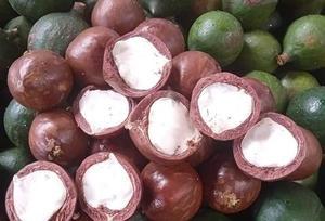 Kon Tum Province eyes sustainable development of macadamia farming
