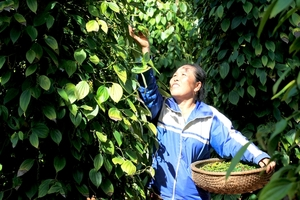 VN unlikelyto reach pepper export targetthis year