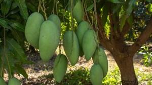 Vietnamese green mango exports to Australia double
