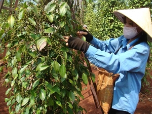 As pepper prices fall, experts urge farmers to go organic, join co-operatives