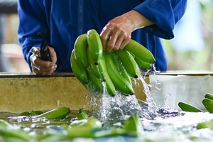 Viet Nam sees high growth of fruit exportsto China in first five months
