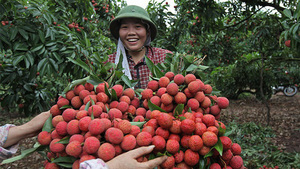 Bac Giang Province protects lychee traderswith COVID-19 vaccines