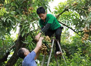 AEON eyes exporting Vietnamese longan to Asian markets