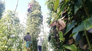 Viet Nam at risk of losing pepper export markets due to high freight costs