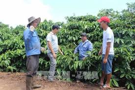 Gia Lai farmers struggle to find higher prices for VietGap coffee