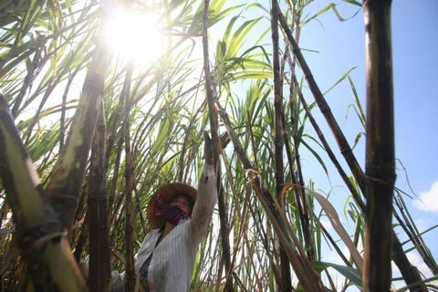 Opportunities await sugarcane farmers if they change their way of thinking